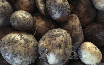 Pommes de terre à l'islandaise